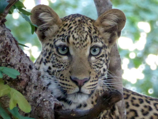 Leopard im Chobe NP (Zoom)