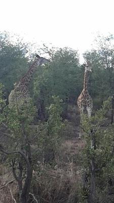 Giraffen unterwegs