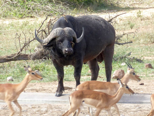 Wasserbüffel im Chobe NP (Zoom)
