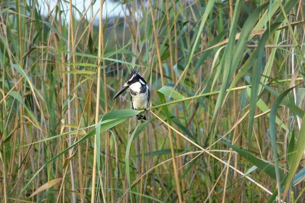 Schwarweisser Eisvogel