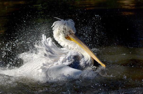 Pelikan (aufgenommen im Tiergarten Schönbrunn)