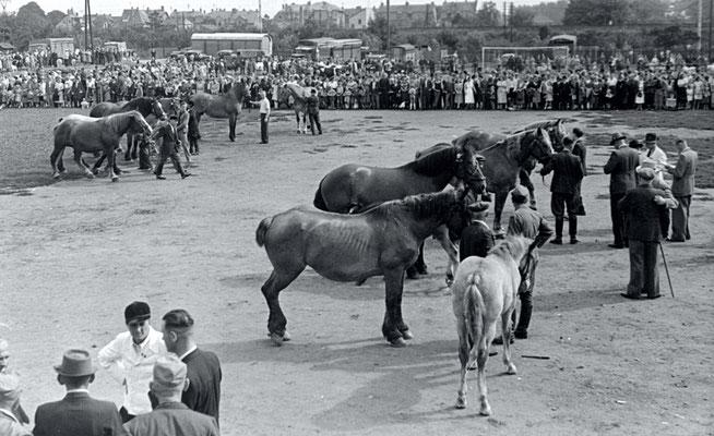 125 Jahre Vilbeler Markt 1950. Viehmarkt auf dem Fußballplatz - dem heutigen Nidda-Sportfeld (Stadtarchiv Bad Vilbel)