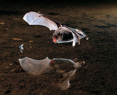 Wasserfledermaus (Myotis daubentonii) - Foto: NABU / Dietmar Nill