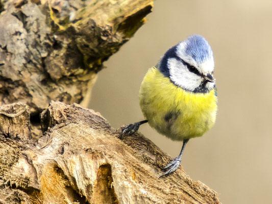 Blaumeise  (Cyanistes caeruleus) - Foto: NABU/ Kathy Büscher