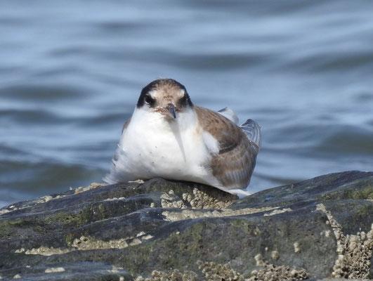 junge Flußseeschwalbe Nordsee Eckwarderhörne