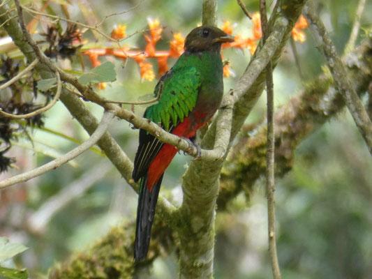 Quetzal in Kolumbien