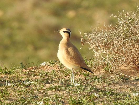 Sahara Rennvogel auf Lanzarote