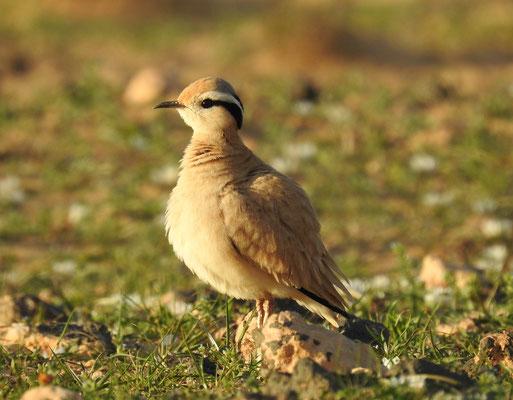 Sahara Rennvogel auf Lanzarote bei Soo
