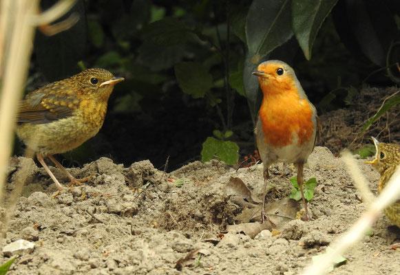 Rotkehlchen mit 2 Jungvögeln (von 3) bei uns im Garten