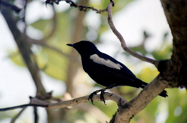 Magpie Robin (Seychellen Dajal)