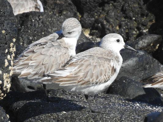 Sanderling auf Lanzarote