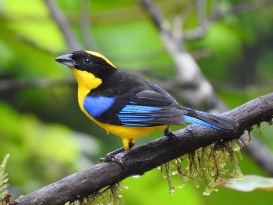 Blauflügelbergtangare in Kolumbien