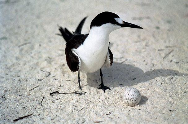 Rußseeschwalbe auf Bird Island