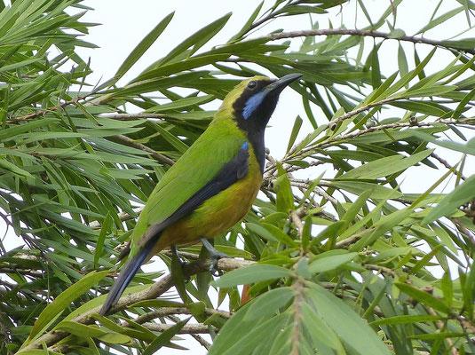 Orangebauch Blattvogel in Malaysia