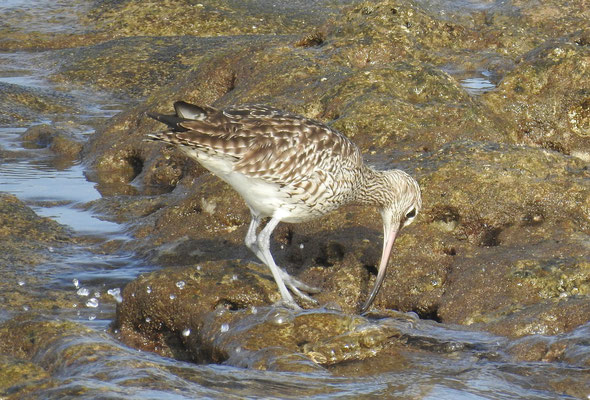 Regenbrachvogel auf Lanzarote