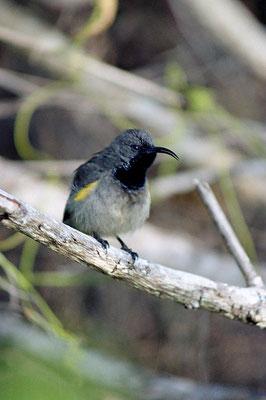 Seychellennektarvogel