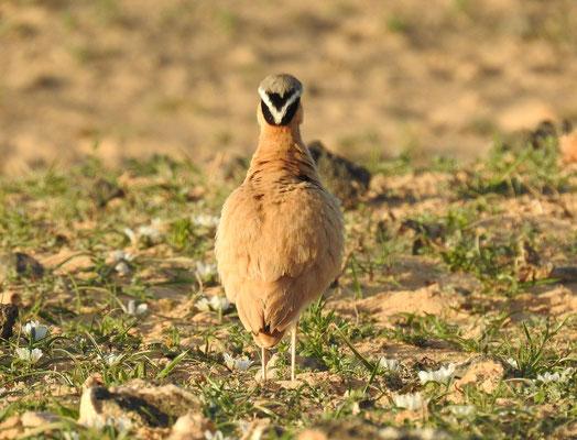 Sahara Rennvogel von hinten auf Lanzarote