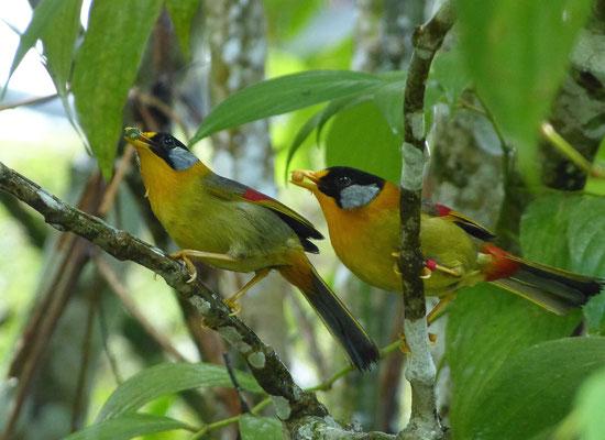 Silberohr - Sonnenvogel
