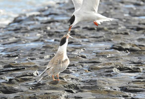 Fisch für den Nachwuchs bei den Flußseeschwalben, Nordsee bei Eckwarderhörne