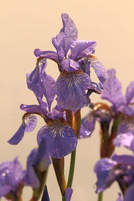 Iris Germanicus Teichanlagen