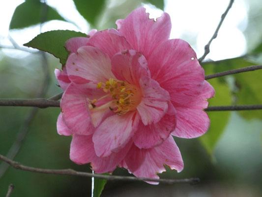 ピンク・霜降り