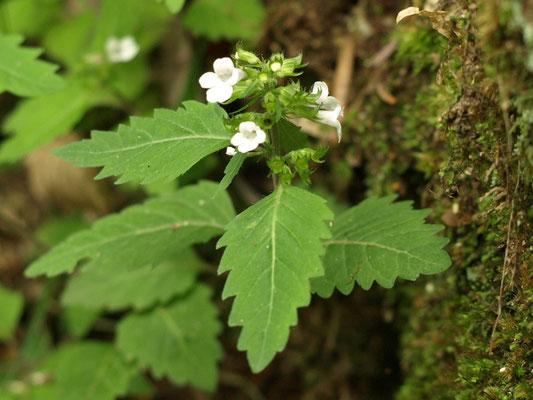42、ヤマトウバナの花