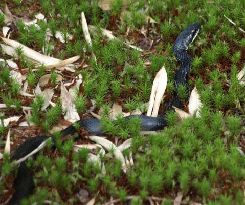 3、カラスヘビ(シマヘビの黒ver.)