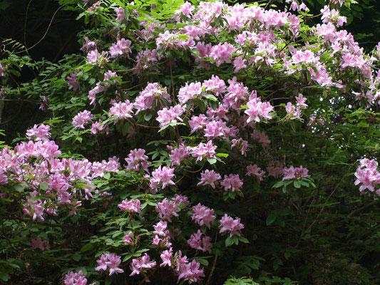 30、モチツツジの花