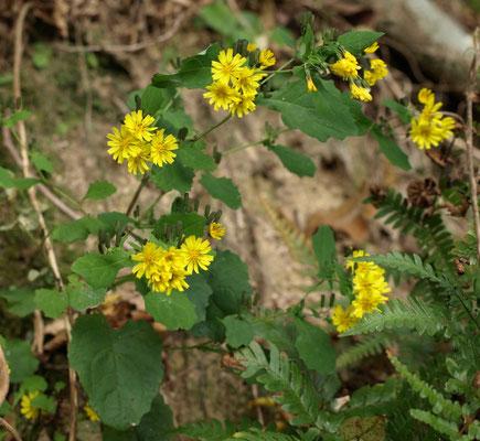 4、ヤクシソウの花