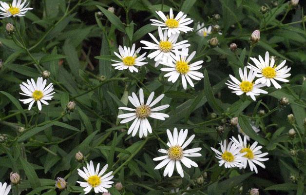 3、シロヨメナの花