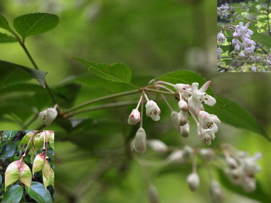 25、ミツバウツギの花