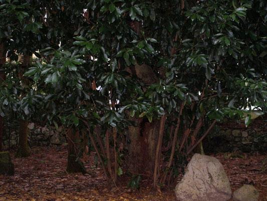 マテバシイ(どんぐりの木)
