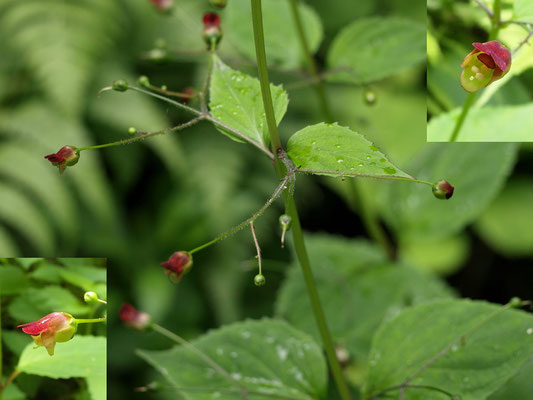 46、サツキヒナノウスツボの花