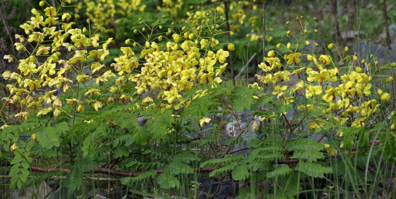 10、ジャケツイバラの花(トゲが鋭い)