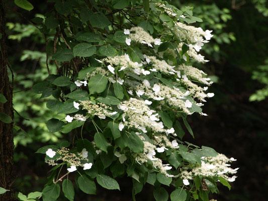 36、ツルアジサイの花