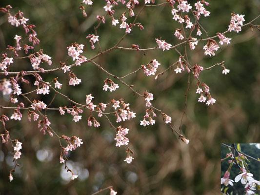 14、キンキマメザクラの花