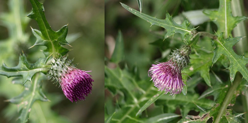 8、オハラメアザミの花