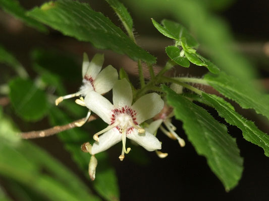 24、バイカウツギの花