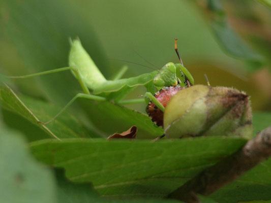 クサギカメムシを食べるカマキリ