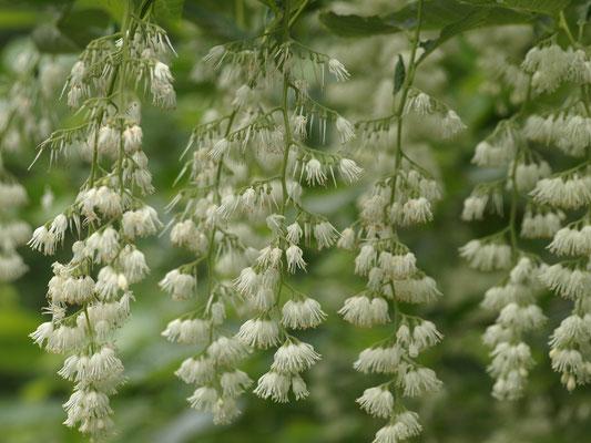 4、オオバアサガラの花