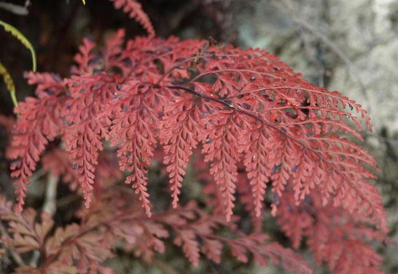 8、ホラシノブの紅葉