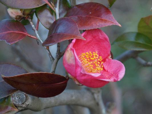 ピンク・カップの様に咲いている