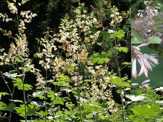 4、タケニグサの花 ( 竹のように背が高い )
