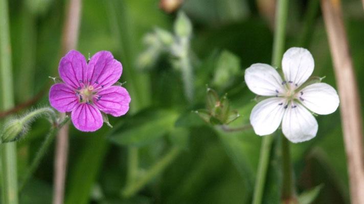 13、ゲンノショウコの花 ( 薬草 )