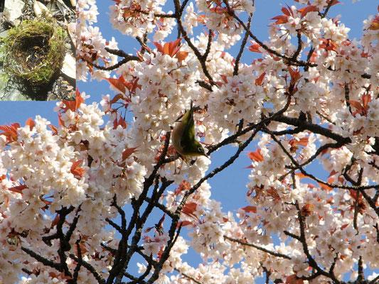 10、桜とメジロ