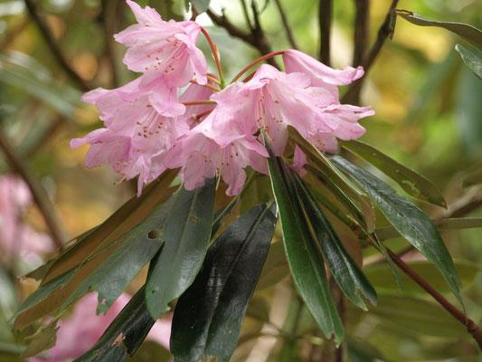 28、ホンシャクナゲの花