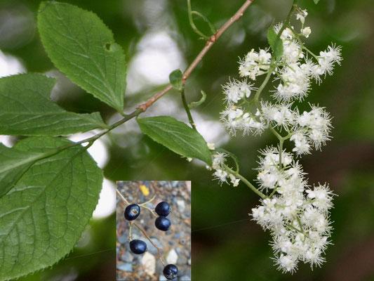 5、タンナサワフタギの花