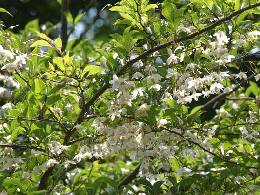15、エゴノキの花