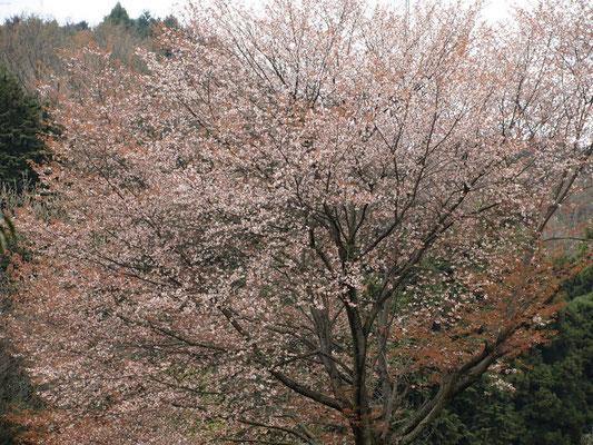 6、ヤマザクラの花