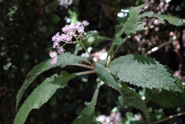 3、クサアジサイの花